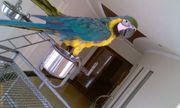 XМы продаем очень дружелюбный синий и золотой попугаев ара.
