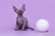 Элитные и для любви котята породы  сфинкс.