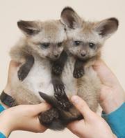 Экзотические котята на продажу: NEW Помет магазинов!