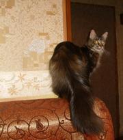 Очаровательные мейн-кун котята